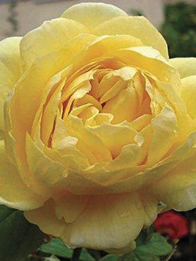 Троянди чайно-гібридна O Sole Mio(1 шт)