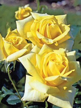 Роза чайно-гибридная Berolina(1 шт)