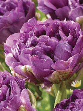 Тюльпаны Махровые поздние Blue Wow 11/12 (3 шт)