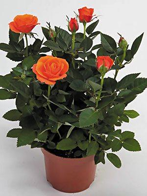 Роза кімнатні Bling Orange Star (1 шт) - 1