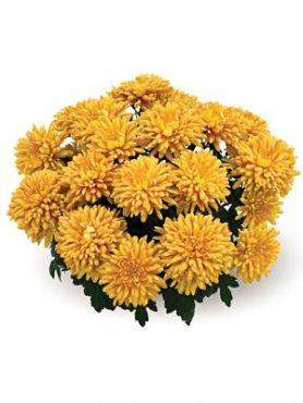 Хризантема горшечная Ankara (3 шт)
