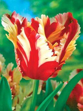 Тюльпаны Попугайные Estella Rijnveld 1011 (100 шт)
