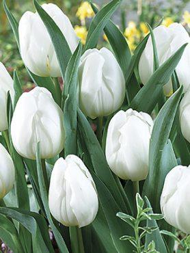 Тюльпани Тріумф Pim Fortuyn 1112 (3 шт)