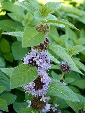 Зеленные Мята садовая (колосковая) (0,2 г)
