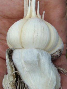 Чеснок Любаша, в зубках (0,5 кг)