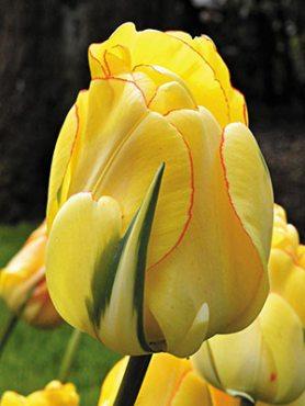 Тюльпаны Махровые поздние Akebono 1112 (3 шт)