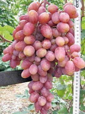 Виноград Юлиан(1 шт)