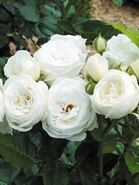 Роза шраб Artemis (1 шт)