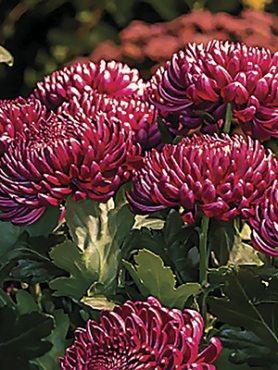 Хризантема срезочная Bigoudi Purple (3 шт)