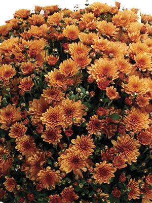 Хризантема мелкоцветковая низкорослая Bransound Dark Orange (3 шт) - 1