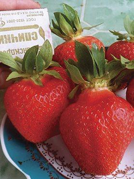 Земляника крупноплодная (клубника) Fenella (25 шт)