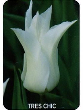 Тюльпаны Лилиецветные Tres Сhic 1112 (100 шт)