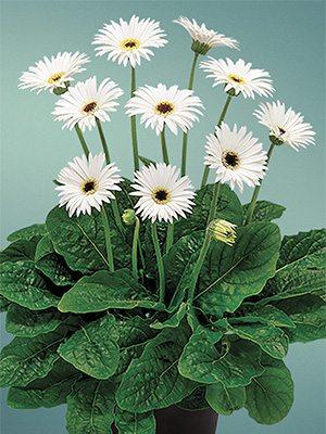 Гербера гибридная (садовая) Garvinea Sweet Frosting (1 шт) - 1