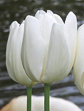 Тюльпаны Дарвиновы гибриды Hakuun 1011 (3 шт)