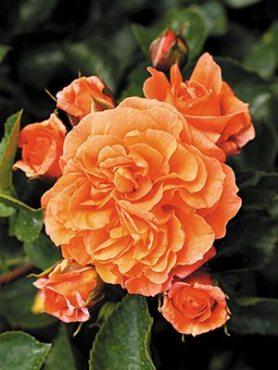 Роза флорибунда Orangerie (1 шт)