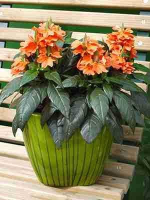 Кроссандра воронковидная Flame, лососево-оранжевая (5 шт) - 1