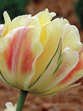 Тюльпаны Махровые поздние Charming Beauty 1112 (20 шт)