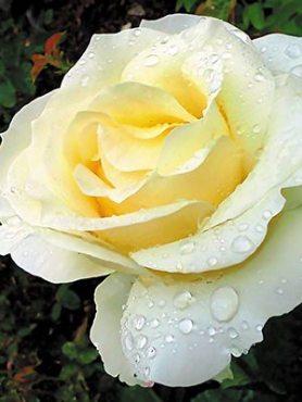 Роза чайно-гибридная Frederic Chopin (1 шт)