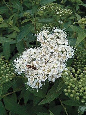 Спирея японская Albiflora (1шт) - 1