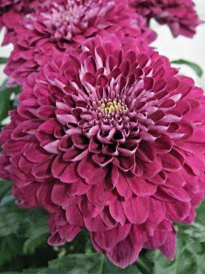 Хризантема срезочная Luba (3 шт) - 1