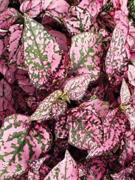 Гипоэстес кроваво-красный Pink Polka Dot, розовый (30 шт)