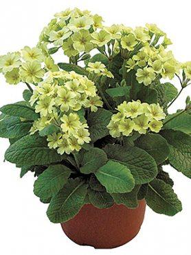 Первоцвіт високий полонинський Veristar Lemon F1 (3 шт)