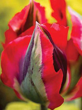 Тюльпани Зеленоквіткові Hollywood 1112 (3 шт)