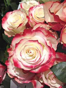 Роза чайно-гибридная Sweetness (1 шт)