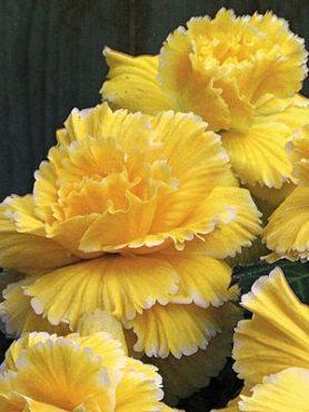 Бегонія бульбова махрова Picotee, жовта з білими кінчиками (1 шт)