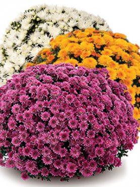 Хризантема мелкоцветковая низкорослая смесь сортов (9 шт)