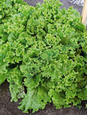 Зеленные Салат полукочанный Орфей (1 г)