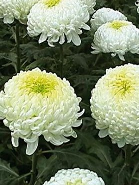 Хризантема срезочная May Shoesmith White (3 шт)