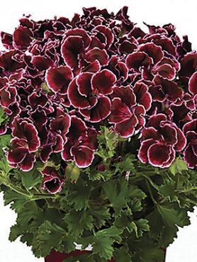 Пеларгонія королівська Graziosa Piccola Burgundy (1 шт)