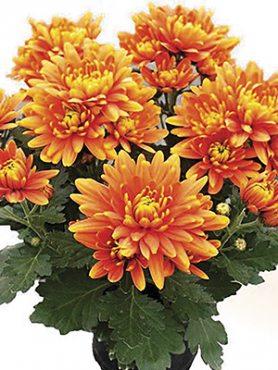 Хризантема горщикова Cayman Orange (9 шт)