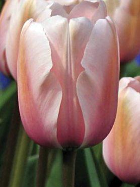 Тюльпаны Простые ранние Salmon Prince 1214 (3 шт)