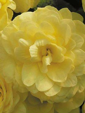 Примула обыкновенная Petticoat Yellow F1 (3 шт)