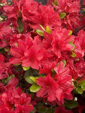 Рододендрон японский Hino Crimson (1 шт)