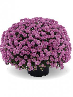 Хризантема мелкоцветковая низкорослая ZsaZsa Pink (9 шт)