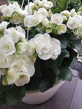 Бегония красивоцветущая (зимняя) Bonbon White (1 шт)