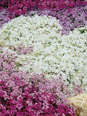 Флокс шиловидний Spring, смесь (3шт)