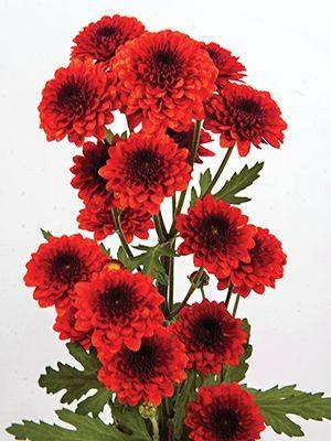 Хризантема срезочная Madras Red (3 шт) - 1