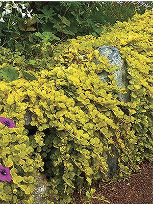 Вербейник монетчатый Creeping Jenny Yellow - 1