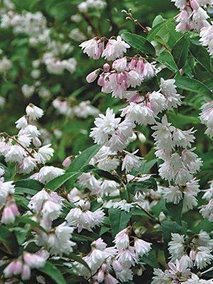 Дейция шершавая ф. махровая (1 шт) - 1