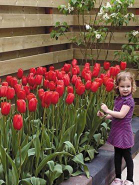 Тюльпаны Простые поздние Sky High Scarlet 1112 (3 шт)