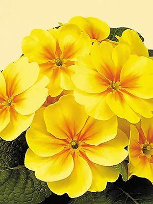 Примула Bonneli Yellow F1 (3 шт) - 1