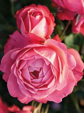 Роза плетистая Rosanna (1 шт)