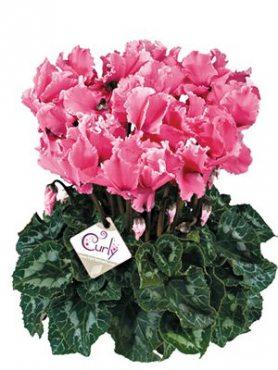 Цикламен крупноцветковый Halios Curly  Fuchsia F1 (1 шт)