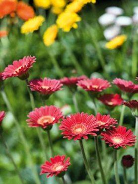 Гербера гібридна (садова) Garvinea Fleurie (1 шт)