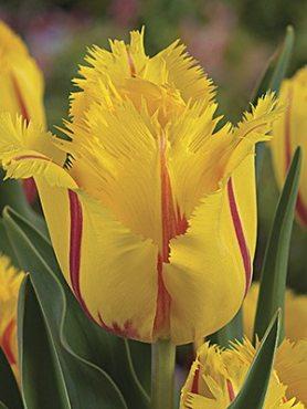 Тюльпаны Бахромчатые Flamenco 1011 (100 шт)