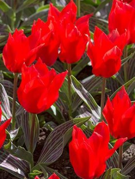 Тюльпаны Грейга Ali Baba 1011 (3 шт)